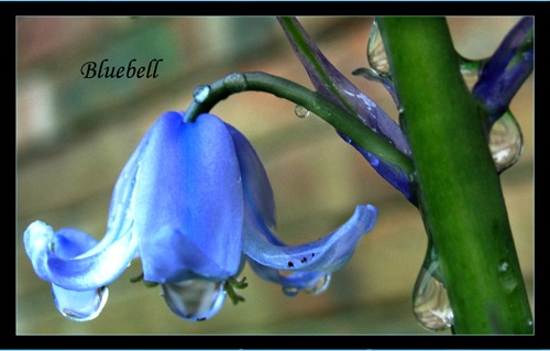 Bluebell by sotaylor