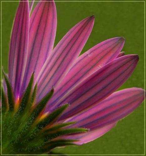 Purple2 by vonny
