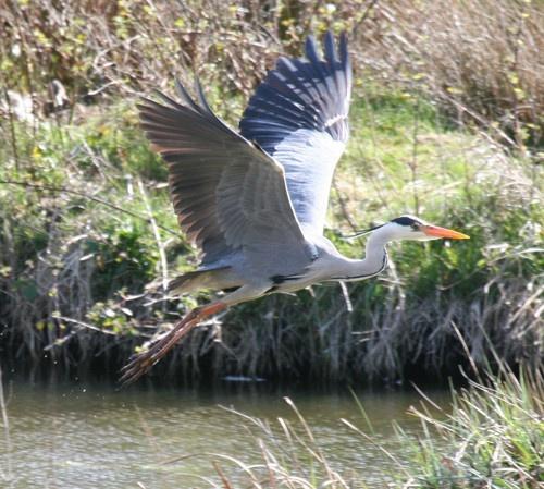 Grey Heron by skewey