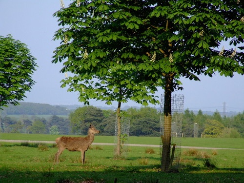 Lone Deer by ford