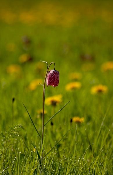 Morning Flower by strawman