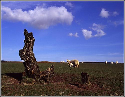 Sheep-stump by maljohns
