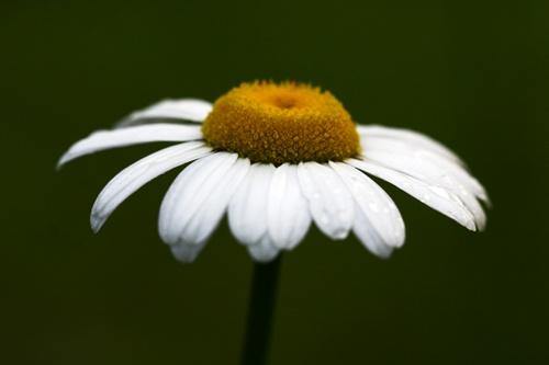Last Daisy by sarah kruger