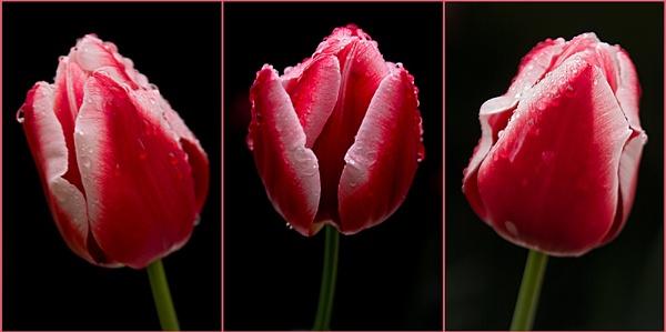 Tulip on a rainy day