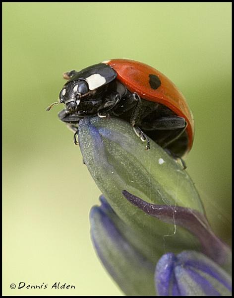 7 Spot Ladybird by Dennis.Alden