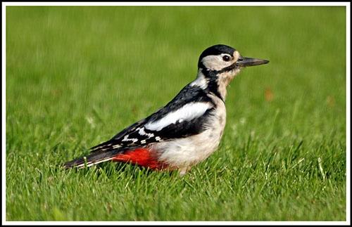 Woodpecker by helengib