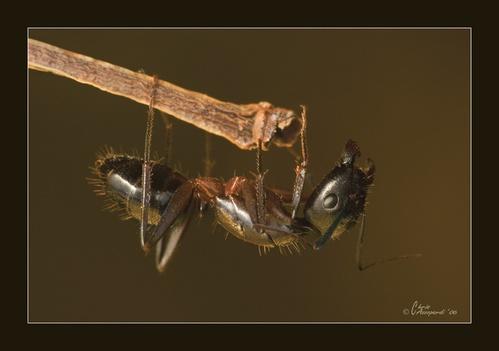 Ant by Ruggieru