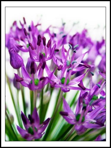 Purple by Beta1