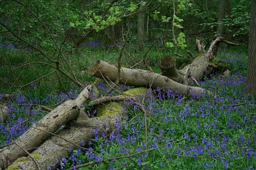Bluebells & Fallen Tree by clayman