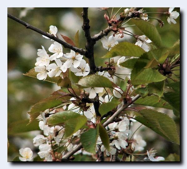 Wild Cherry Blossom by lilipolala