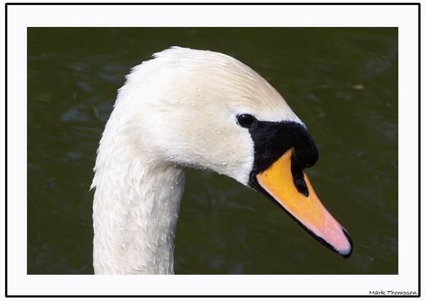 Swan by mark2uk