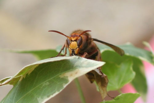 Giant Hornet by The_Jedi