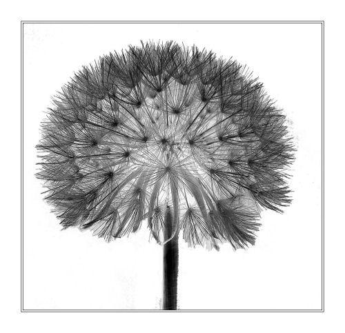 dandelion by CaroleA