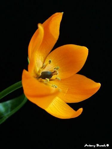 Orange on Black by AntonyB