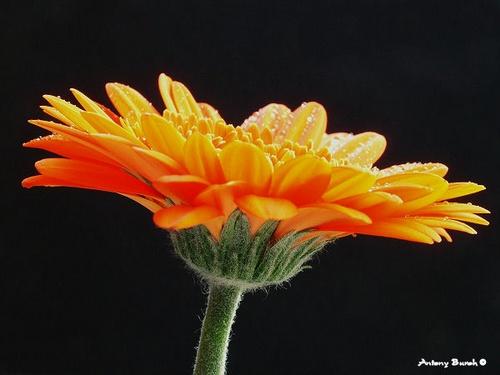 Orange Gerbera by AntonyB
