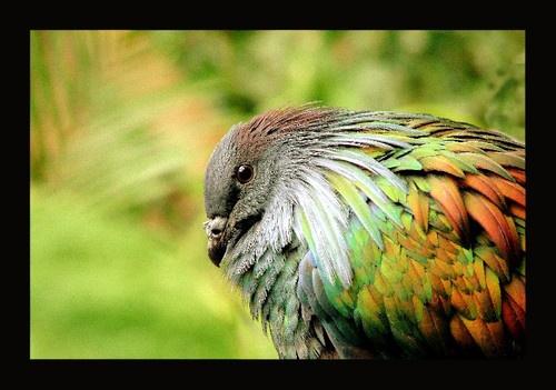 Nicobar Pigeon by SHAN_WONG