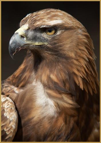 Golden Eagle by BRIGHTon_SPARK