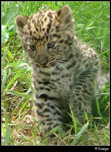 Leopard Cub by Deego