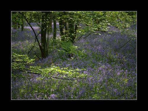 Bluebells by fairlytallpaul