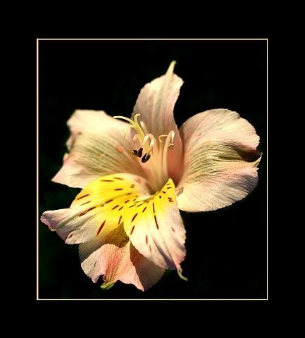 Birthday Bloom #3 by dalischone