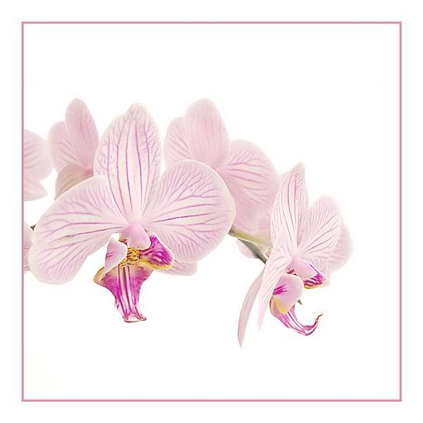Phalaenopsis White by phowtow