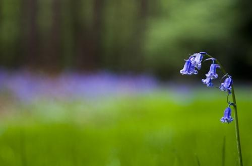 Bluebells by stuleech