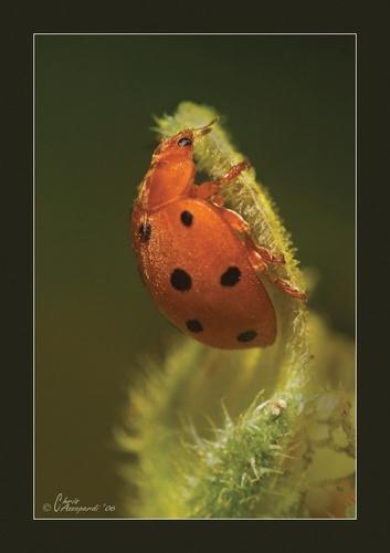 Ladybird 2 by Ruggieru