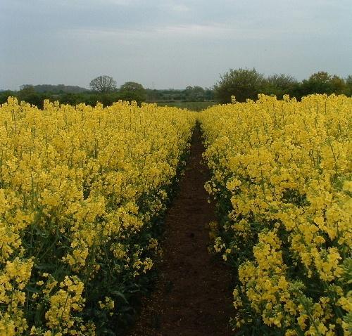 Yellow footpath by oldbiddy