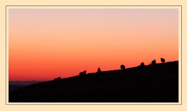 Silhouette sheep by mathugamble