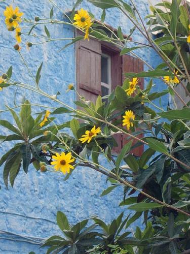 Sunflowers by jayhawk2000