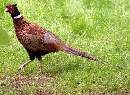 Pheasant by bmh1