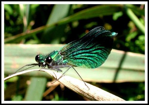 Dragonfly by CornishEyes