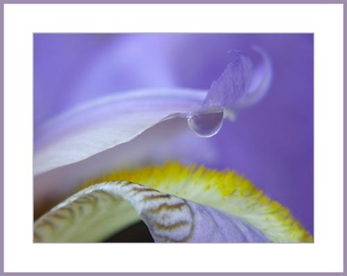 bearded iris by Sheenanigans
