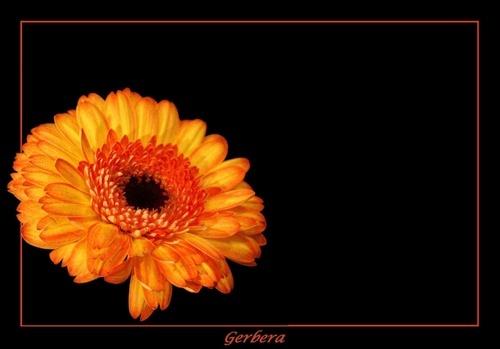 Dionne\'s Gerbera by kats_dad