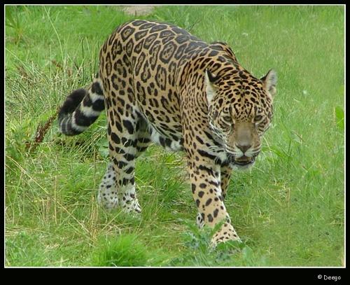 Jaguar by Deego