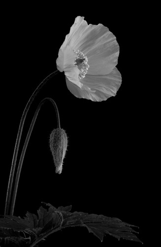 Meconopsis cambrica - The Welsh Poppy by robporter