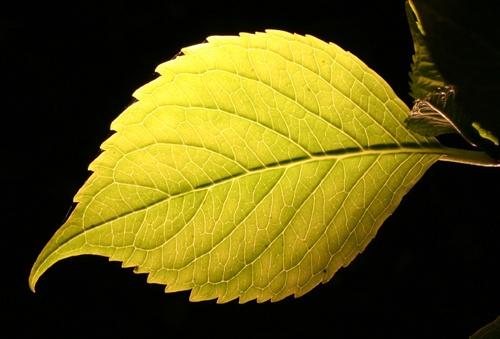 "\""Backlit Leaf\"" by biggus"