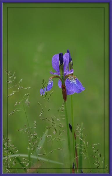 A Wild Iris by eosdpete