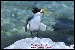 The Great Tern