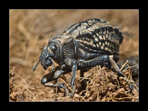 Beetle by Ruggieru