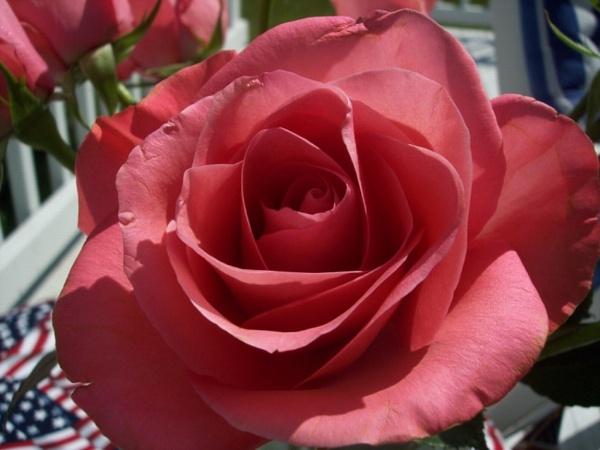 Memorial Rose by Josh_R