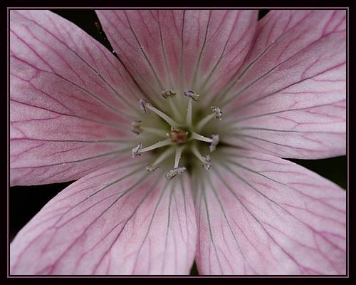 geranium by dhough
