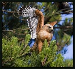 Red Shouldered Hawk # 31