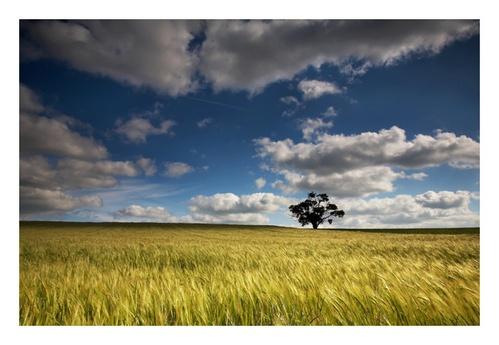 Barley Field by Chriscj