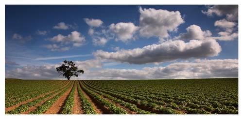 Potato Field by Chriscj