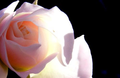 peach rose by helenam