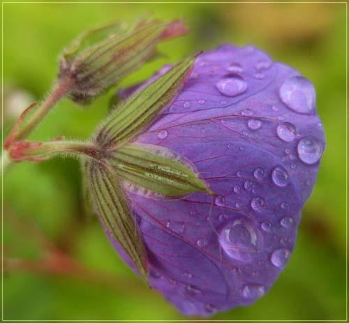 Purple rain by vonny