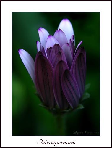 Osteospermum by Sheenanigans