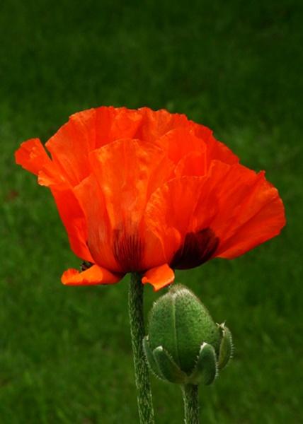 Poppy by piccy