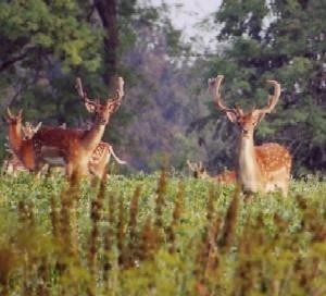 Deer,Fallow Bucks in velvet by Deerman